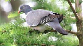 Omhoog sluit de vogel houten duif op tak, stock footage