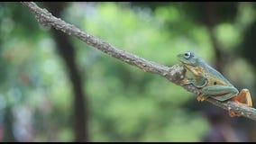 Omhoog sluit de Wallace` s vliegende kikker, kikkers, boomkikkers, amfibieen stock video