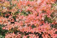 Omhoog sluit het de herfst kleurrijke rode blad onder de esdoornboom, royalty-vrije stock fotografie
