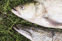 Omhoog sluiten de de aspis roofzuchtige zoetwatervissen en snoeken op groen gras Stock Foto's