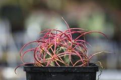 Omhoog sluiten de polycephalus rode doornen van cactusechinocactus, geïsoleerd o Royalty-vrije Stock Afbeelding