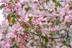 Omhoog sluiten de Sakura roze bloemen, kersenbloesems royalty-vrije stock foto
