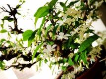 Omhoog sluiten de witte bloemen van Wrightiareligiosa Stock Afbeeldingen