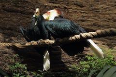 Omhulde Hornbill Royalty-vrije Stock Afbeeldingen