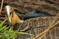 Omhulde Hornbill Royalty-vrije Stock Foto's