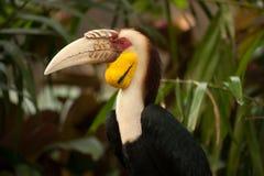 Omhulde hornbill Rhyticeros-undulatus of bar-pouched omhuld hornbill Stock Foto