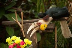 Omhulde hornbill Rhyticeros-undulatus of bar-pouched omhuld hornbill Stock Afbeelding