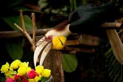 Omhulde hornbill Rhyticeros-undulatus of bar-pouched omhuld hornbill Royalty-vrije Stock Foto's