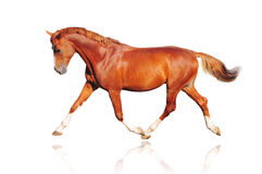 άλογο κάστανων που απομ&omic Στοκ Εικόνες