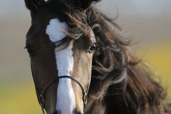 καφετί επικεφαλής άλογ&omic Στοκ φωτογραφία με δικαίωμα ελεύθερης χρήσης