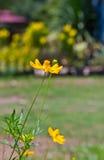 λουλούδι κόσμου κίτριν&omicr Στοκ εικόνα με δικαίωμα ελεύθερης χρήσης