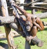 Ominide antropoide del mammifero dei primati dell'orangutan fotografie stock
