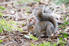 Omnivorous rodent squirrel on ground Royalty Free Stock Photography