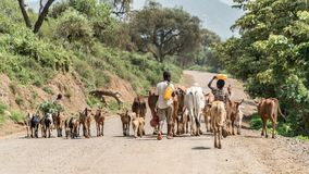 Cows and cattle in the Omo Valley of Ethiopia stock photography
