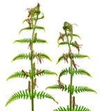 蚂蚱omocestus rufipes森林地 库存图片