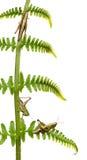 蚂蚱omocestus rufipes森林地 库存照片