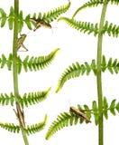 蚂蚱omocestus rufipes森林地 免版税库存图片