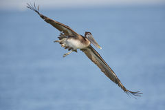 Omogen brun pelikan som i flykten packar ihop - Florida Royaltyfri Fotografi