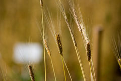 Omogen einkornTriticummonococcum i ett fält Royaltyfri Bild