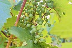 Omogen grupp av druvor Ung klunga av druvor close upp Arkivfoto