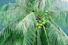 Omogen kokosnöt på en gömma i handflatan Arkivbild