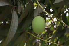 Omogen mangofrukt på träd Royaltyfria Foton