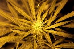 Omogen marijuanaknopp för makro Arkivfoto