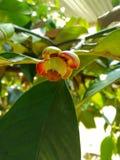 Omogen och grön fruktmangosteen Arkivfoton