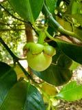 Omogen och grön fruktmangosteen Royaltyfria Bilder