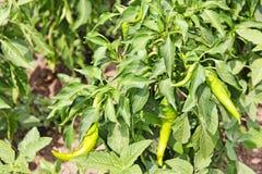 Omogen peppar för varm chili på en trädgårds- säng Royaltyfria Bilder