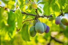 Omogen plommonträdfrukt - organisk sund mat från naturen Arkivbilder