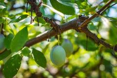 Omogen plommonträdfrukt - organisk sund mat från naturen Royaltyfri Foto