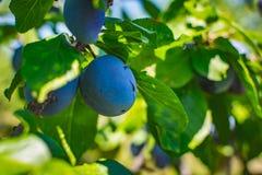 Omogen plommonträdfrukt - organisk sund mat från naturen Fotografering för Bildbyråer