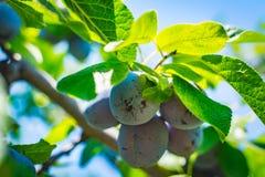 Omogen plommonträdfrukt - organisk sund mat från naturen Arkivbild
