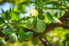 Omogen plommonträdfrukt - organisk sund mat från naturen Royaltyfria Bilder