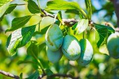 Omogen plommonträdfrukt - organisk sund mat från naturen Arkivfoton