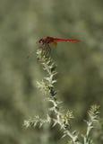 Omogen rödlätt darter, sympetrumsanguineum, in Arkivfoto