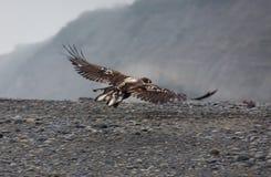 Omogen skallig örn i flykten längs vattenkanten Arkivbild