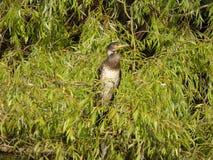 Omogen stor kormoran för tonåring aka - Phalacrocoraxcarbo Arkivbilder