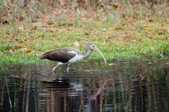 Omoget ibisOkefenokee träsk Arkivfoton