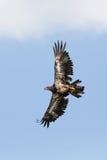 Omoget skalliga Eagle skjuta i höjden Fotografering för Bildbyråer