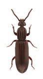 Omoglymmius germari. A female of Omoglymmius germari, wrinkled bark beetles, isolated on white background royalty free stock photo