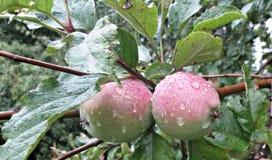Omogna äpplen på en filial med sidor royaltyfri fotografi
