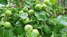 Omogna äpplen på filialen royaltyfria bilder