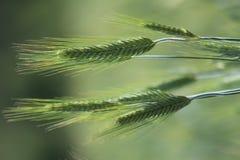 Omogna öron av vete i ett fält i sommar Royaltyfria Foton