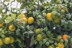 Omogna apelsiner som växer på busken arkivfoton