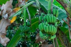 Omogna bananer på ett bananträd i djungeln Arkivfoto