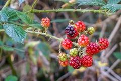 Omogna björnbär som växer på busken royaltyfri fotografi
