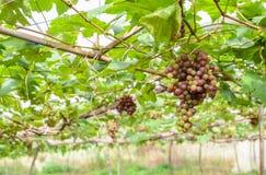 Omogna druvor på vinrankan Fotografering för Bildbyråer