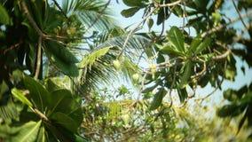Omogna frukter på tropiska träd, ultrarapid arkivfilmer